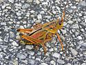 Florida Grasshopper - Romalea microptera - female