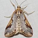 4993 - Loxostege albiceralis
