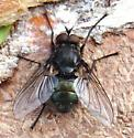 Just another Blow Fly... - Bellardia vulgaris - male