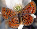 Butterfly - Calephelis virginiensis