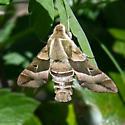 Proserpinus clarkiae