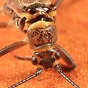 Stonefly - Taenionema atlanticum - male