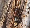 Formica aserva - female