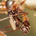 Kleptoparasitic fly