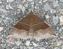 Maple Looper Moth - Parallelia bistriaris