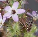 Hesperapis rufipes - female