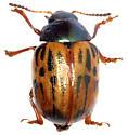 Leptinotarsa_lineolata-Pena Blanca-AZ - Leptinotarsa lineolata