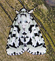 Black and White Moth - Acronicta fallax