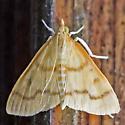 moth - Helvibotys helvialis