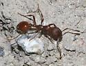 ant - Manica invidia