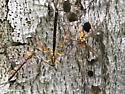 Megarhyssa males - Megarhyssa - male