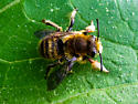 What Type of Bee - Megachile perihirta - male