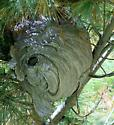 Large 'wasp' nest in Eastern White Pine - Dolichovespula