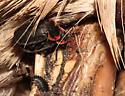Silphidae, Margined Carrion Beetle - Oiceoptoma noveboracense - male - female