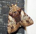 Moth - Catocala crataegi
