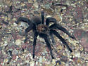 Wandering male - Aphonopelma chalcodes - male