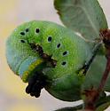 Snowberry Clearwing caterpillar behavior - Hemaris diffinis