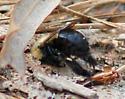 ground nesting bees - Habropoda laboriosa
