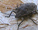 Brochymena - Brochymena quadripustulata
