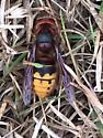 Paper wasp? - Vespa crabro