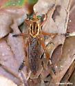 Diogmites salutans - female