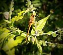 Poss. Yellow Legged Meadowhawk/Autumn Meadowhawk - Sympetrum vicinum - female