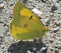 Orange Sulpher - Colias eurytheme - male