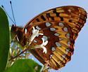 Great Spangled Fritillary? - Speyeria cybele - male