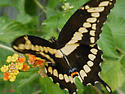 Black Tiger Swallowtail - Papilio cresphontes