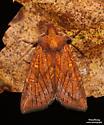 Sensitive Fern Borer - Hodges#9483 (Papaipema inquaesita) - Papaipema inquaesita