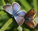 Blue - Plebejus saepiolus - male - female
