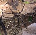 Really big wolf spider - Rabidosa rabida