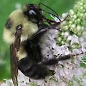 Which Bumble? - Bombus griseocollis