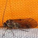 Body 3 - Metylophorus novaescotiae