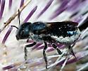 Blue Metallic Bee - Osmia chalybea - female