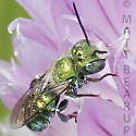 Small Green Male Osmia - Osmia - male