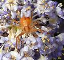 running crab spider - Philodromus rufus