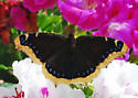 Mourning Cloak in a much better place - Nymphalis antiopa