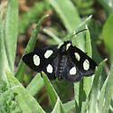 (Female) Langton's Forester Moth (Alypia langtoni) Hodges #9318 - Alypia langtoni - female
