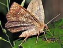 Metarranthis angularia - female
