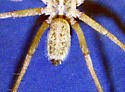 Species Eratigena agrestis - Hobo Spider - Eratigena agrestis - male