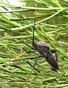 Acanthocephala thomasi