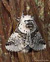 Unknown Moth - Furcula