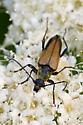 Insect on Cow Parsnip - Lepturobosca nigrolineata