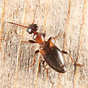 Narrow-necked Grain Beetle - Omonadus floralis