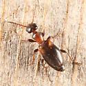 Narrow-necked Grain Beetle - Omonadus floralis