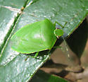 March stink bug - Chinavia hilaris