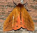 Is this Isabella Tiger Moth? - Pyrrharctia isabella