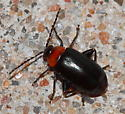 Beetle - Disonycha xanthomelas