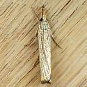 Vagabond Crambus (Agriphila vulgivagellus) - Agriphila